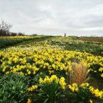 Daffodils in the Maze on Block Island
